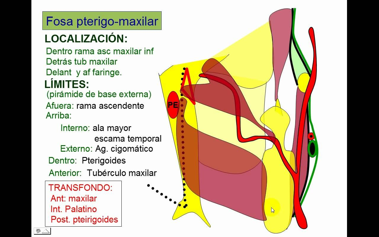 FOSA PTERIGOMAXILAR.avi | anatomia CRANEO | Pinterest