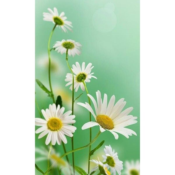 15 Vertical Flower Wallpapers Free HD Desktop And Mobile Wallpapers ❤ liked on Polyvore featuring backgrounds and filler