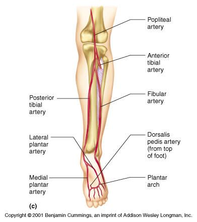 Arteries Of The Leg Nursing Pinterest Anatomy Anatomy And