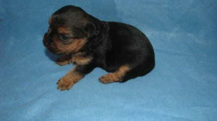 Yorkshire Terrier For Sale Hoobly Classifieds Cute Teacup Puppies Yorkie Poo Teacup Puppies
