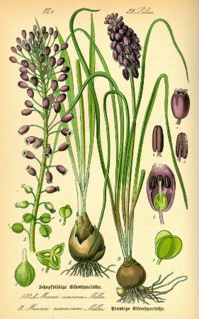 """Grape Hyacinth (Muscari neglectum) Poster  Antique botanical illustration by Otto Wilhelm Thomé, from """"Flora von Deutschland, Österreich und der Schweiz"""", 1885."""