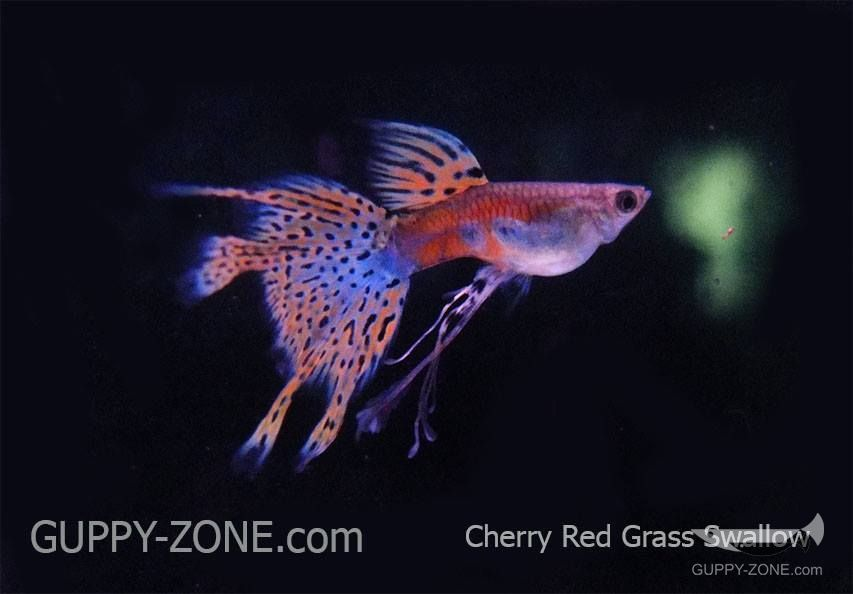 Pin By Tak Silpaphong On Guppy Guppy Guppy Fish Pink Grass