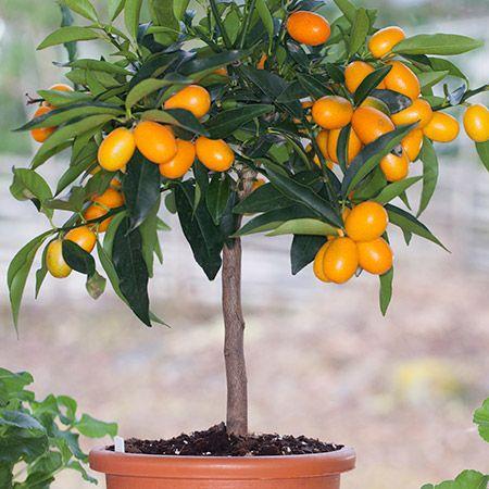 Nagami Kumquat Tree Kumquat Tree Nagami Kumquat Tree Citrus Trees