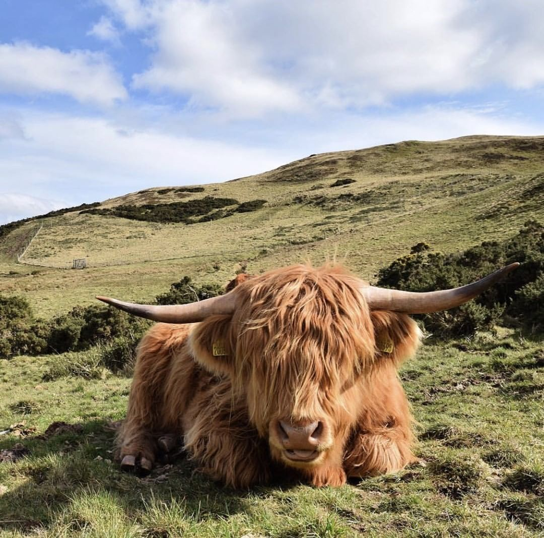 Can't get enough of these highland cows. Great shot @Iainmuirhead_photography ******************************************* Selecting your🔝🔝🔝 Snaps from in and around Edinburgh to be featured tag #Edinburghresidents ******************************************* . . . #edinburgh #scotland #scotspirit #scottish #edinphoto #edinburghcity #edinburghlife  #travel #photographer #photographerlife #ukpotd #أدنبرة #instascotland #爱丁堡 #insta #scotland #instaedinburgh #visitscotland #visitbritain #Эдинбург