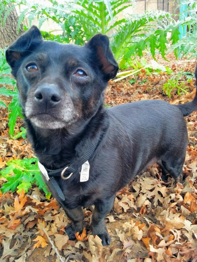 Adopt Gizmo On Dog Pounds Dog Adoption Chihuahua Mix