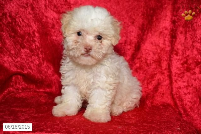 Bichapoo Puppy For Sale In Ohio Buckeyepuppies Puppies For Sale