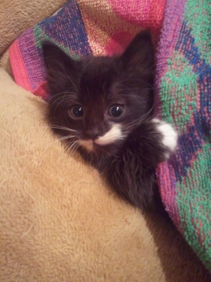 Tux, black& white cat