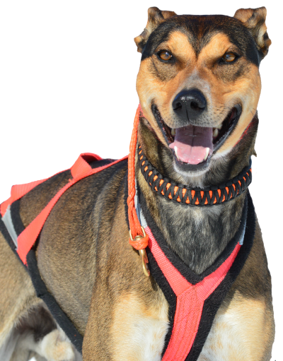 Sprint Racing Sled Dogs With Images Dog Sledding Sled Dog Harness Eurohound