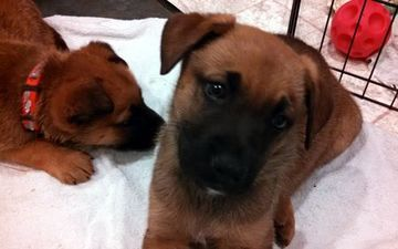 Check out Erin's profile on AllPaws.com and help her get adopted! Erin is an adorable Dog that needs a new home. https://www.allpaws.com/adopt-a-dog/german-shepherd-dog-mix-boxer/2401214?social_ref=pinterest