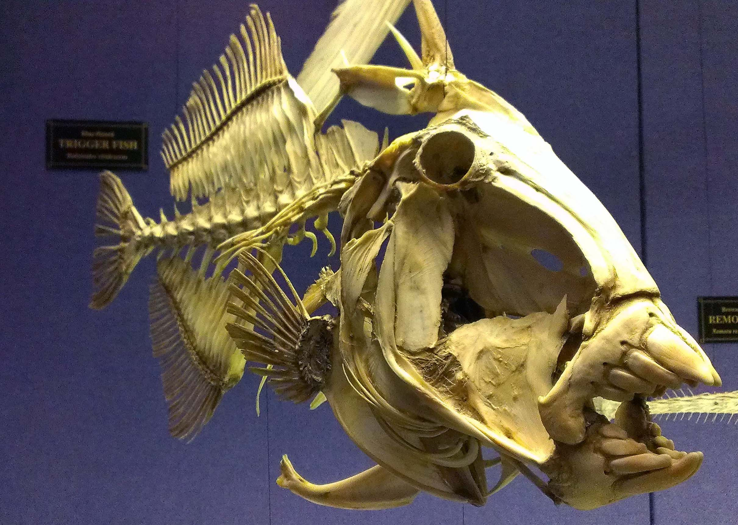 stargazer fish skull - Google Search | critters | Pinterest ...
