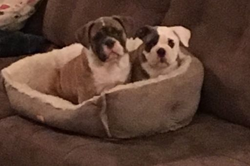 Litter Of 3 Olde English Bulldogge Puppies For Sale In Swansea Il
