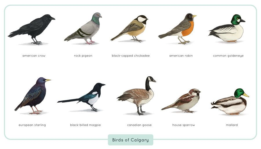 common_birds_of_calgary_by_astro_phase-d5yh8x4.jpg 900×514 pixels