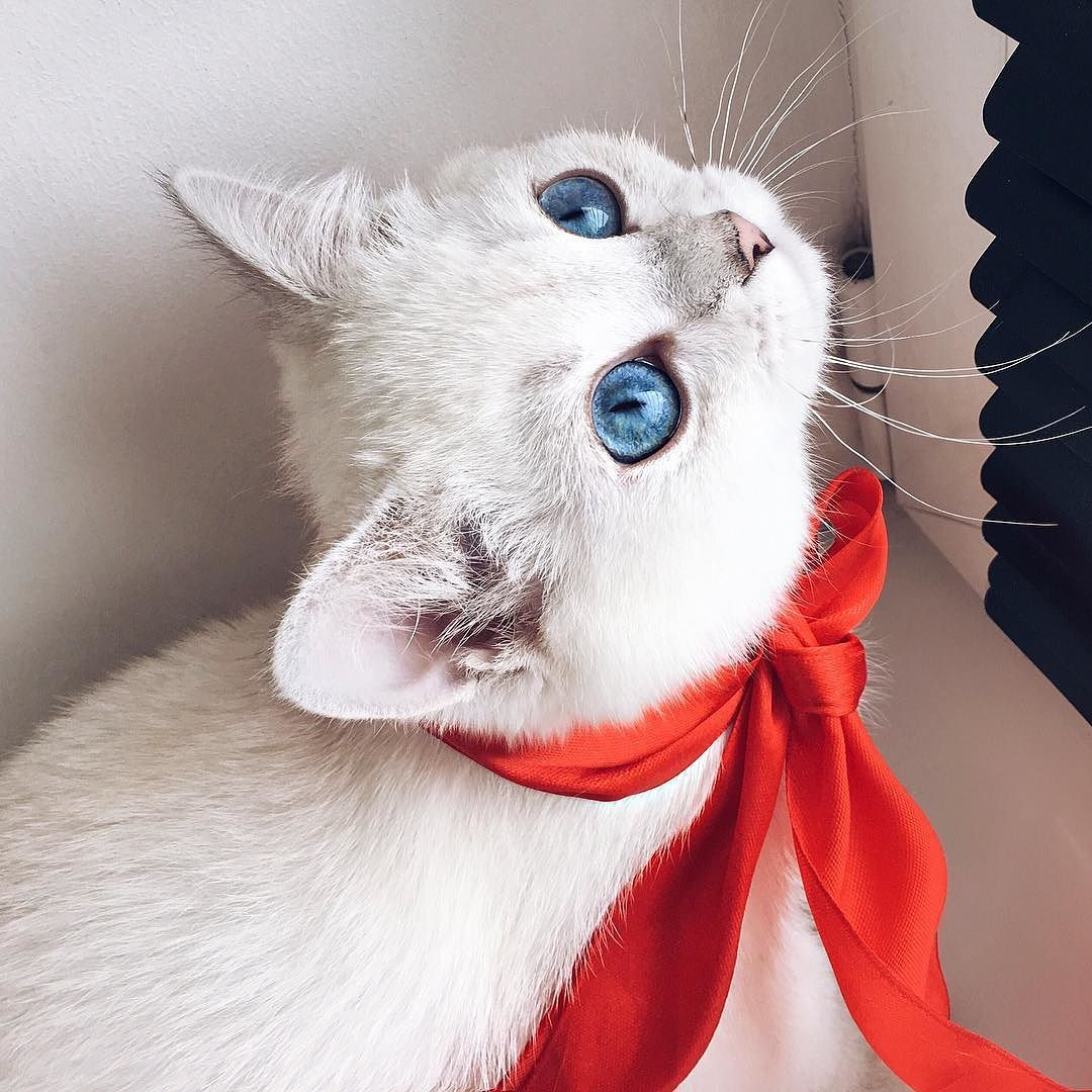 Instagram Russia Foto Wild Cats Cat With Blue Eyes White Cats