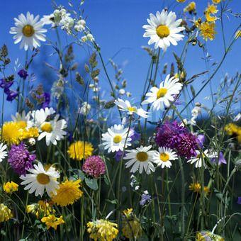 Flower Fields Germany Bilder Blumen Wiese Feld Mit