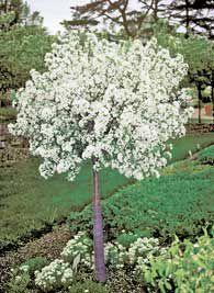 Dwarf Crab Apple Crabapple Tree Patio Trees Landscaping Plants