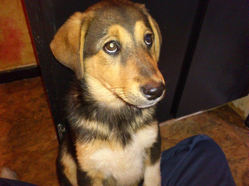 beagle mixed with german shepherd - 800×600