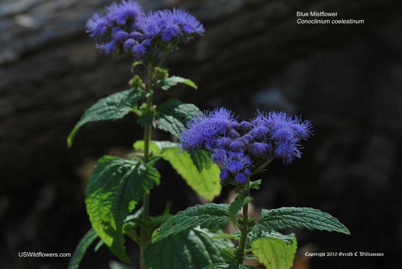 Blue Mistflower Wild Ageratum Mistflower From Modernsauce Nature Garden Wild Flowers Planting Flowers