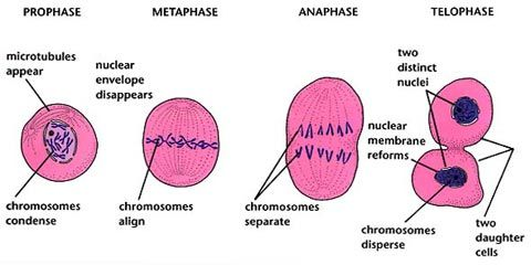 what are the 4 stages of mitosis