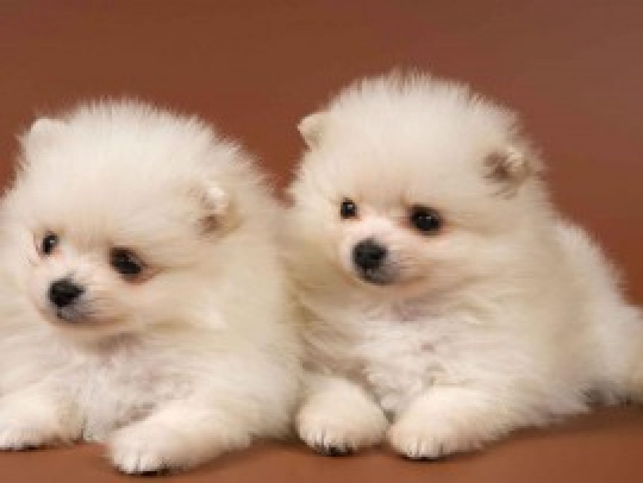SOOO PUFFY Puppies and Dogs Pinterest