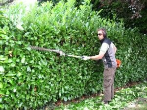 Landscape Technician T Laurel Hedge