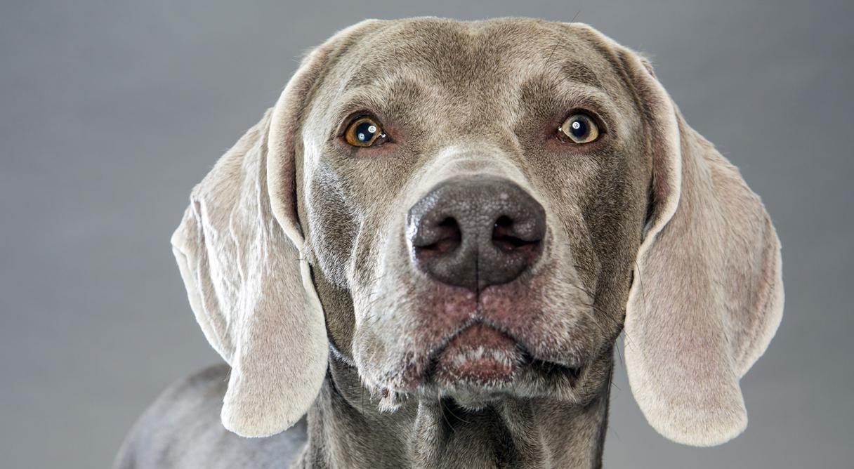 Weimaraner Dog Breed Information Dog breeds, Weimaraner