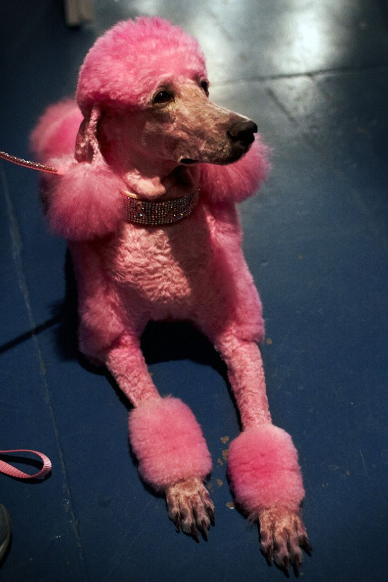 Guinevere Pink Poodle And Super Model With Images Poodle Dog