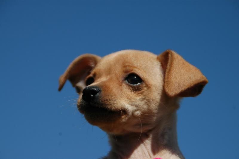 07 19 14 Sl Audrey Chihuahua Adult Female Small Hillcrest