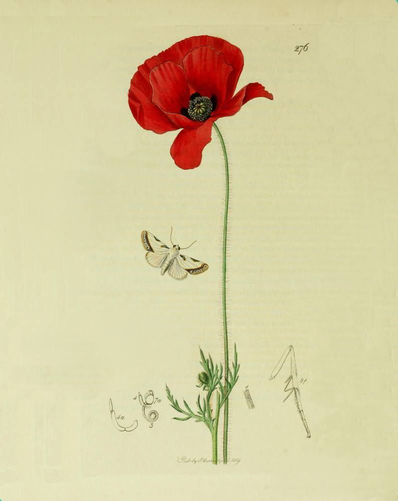 Poppy The Poppy Draws Us In With Its Vivid Colour And Subtle Beauty