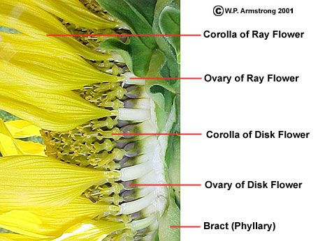 Sunflower family asteraceae capitulum inflorescence of the sunflower family asteraceae capitulum inflorescence of the sunflower family nature study resources pinterest sunflowers and nature study ccuart Image collections