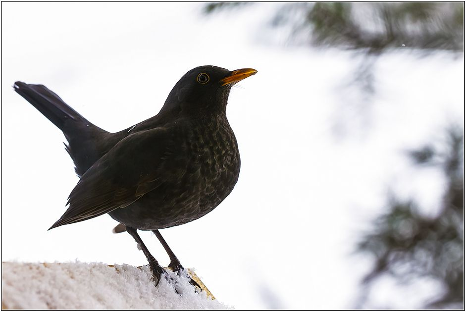Pin Von Berat Demirkol Auf Merel Vogel Im Garten Tiere