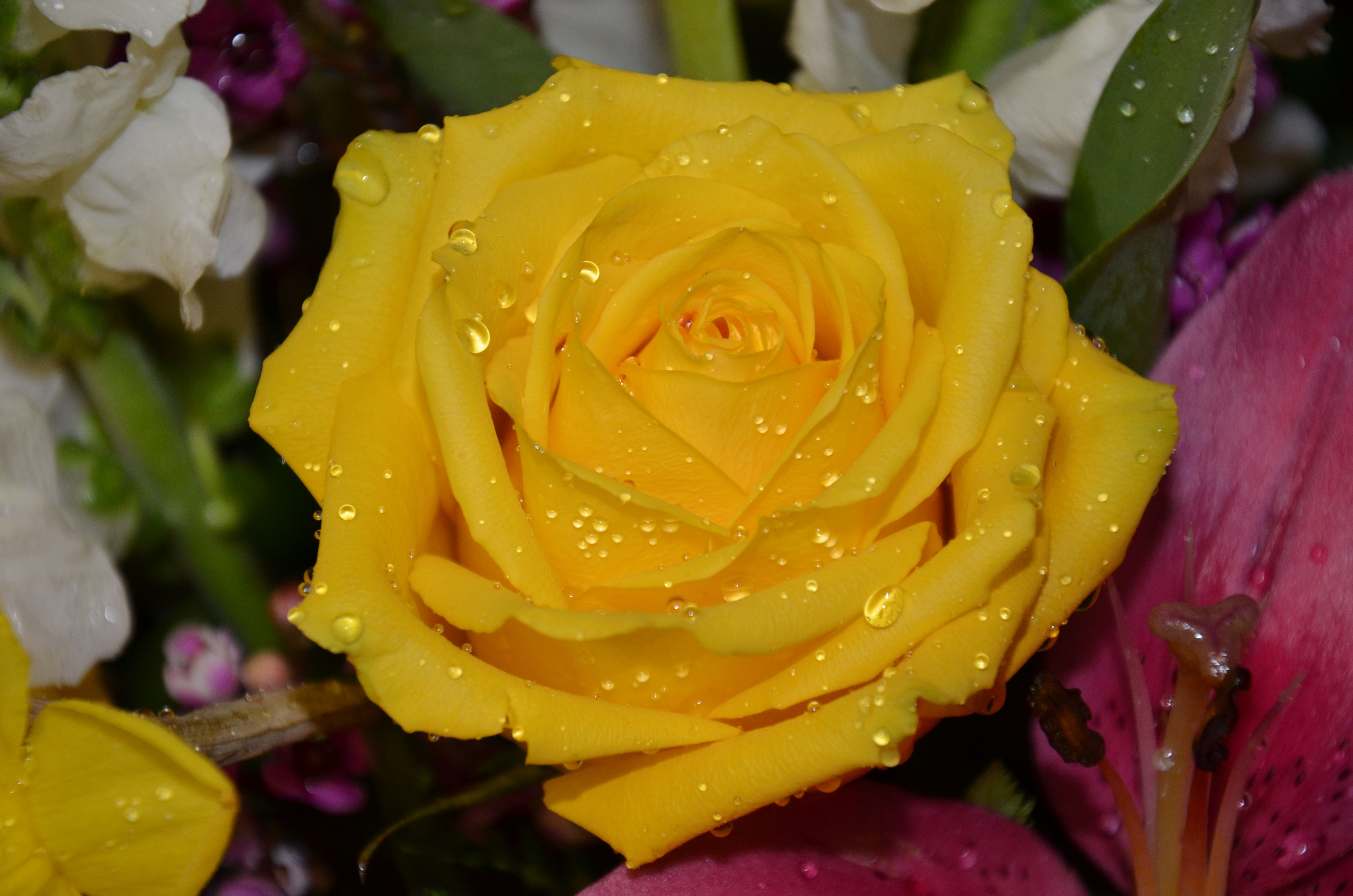 Yellow Rose with Droplets