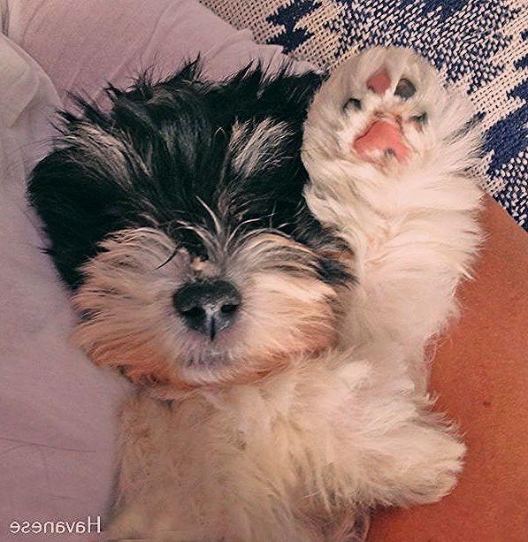 Havanese Puppies Smile