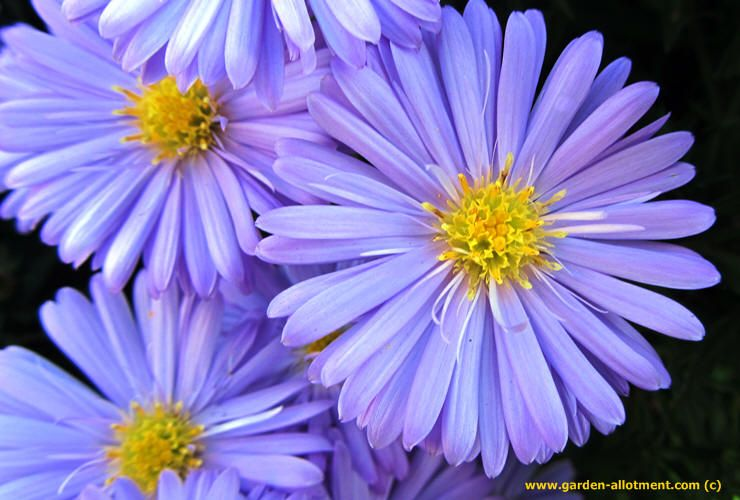 Pin By Rachel Ann On Tattoos Aster Flower Birth Month Flowers Organic Gardening