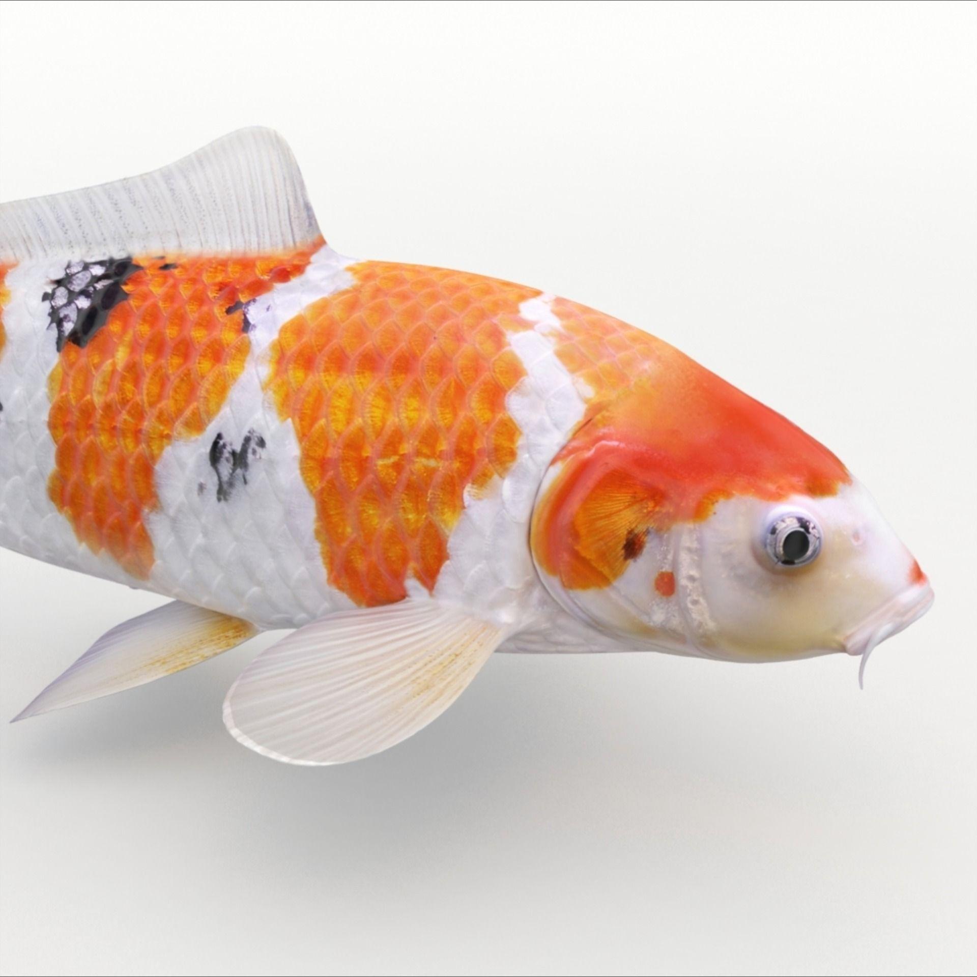 Koi Fish 3d Model Koi Fish Koi Fish