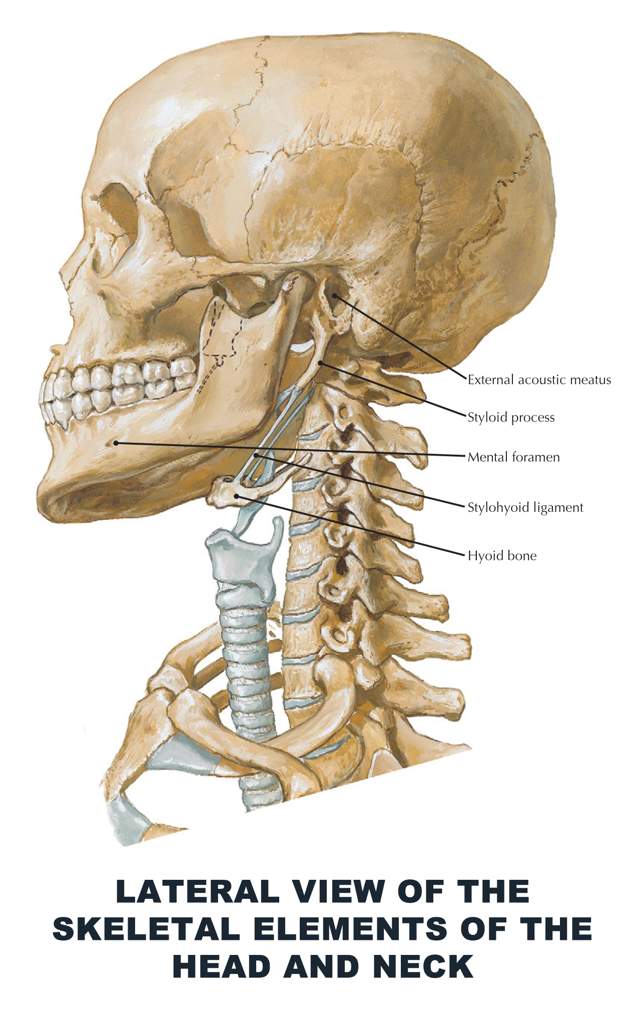 Lateral View Of The Skeletal Elements Of The Head And Neck