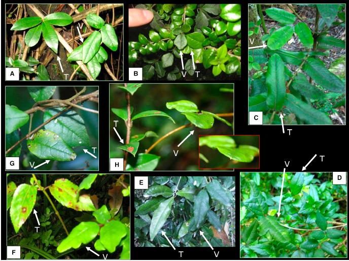 boquila trifoliolata- the mimicry tropical vine