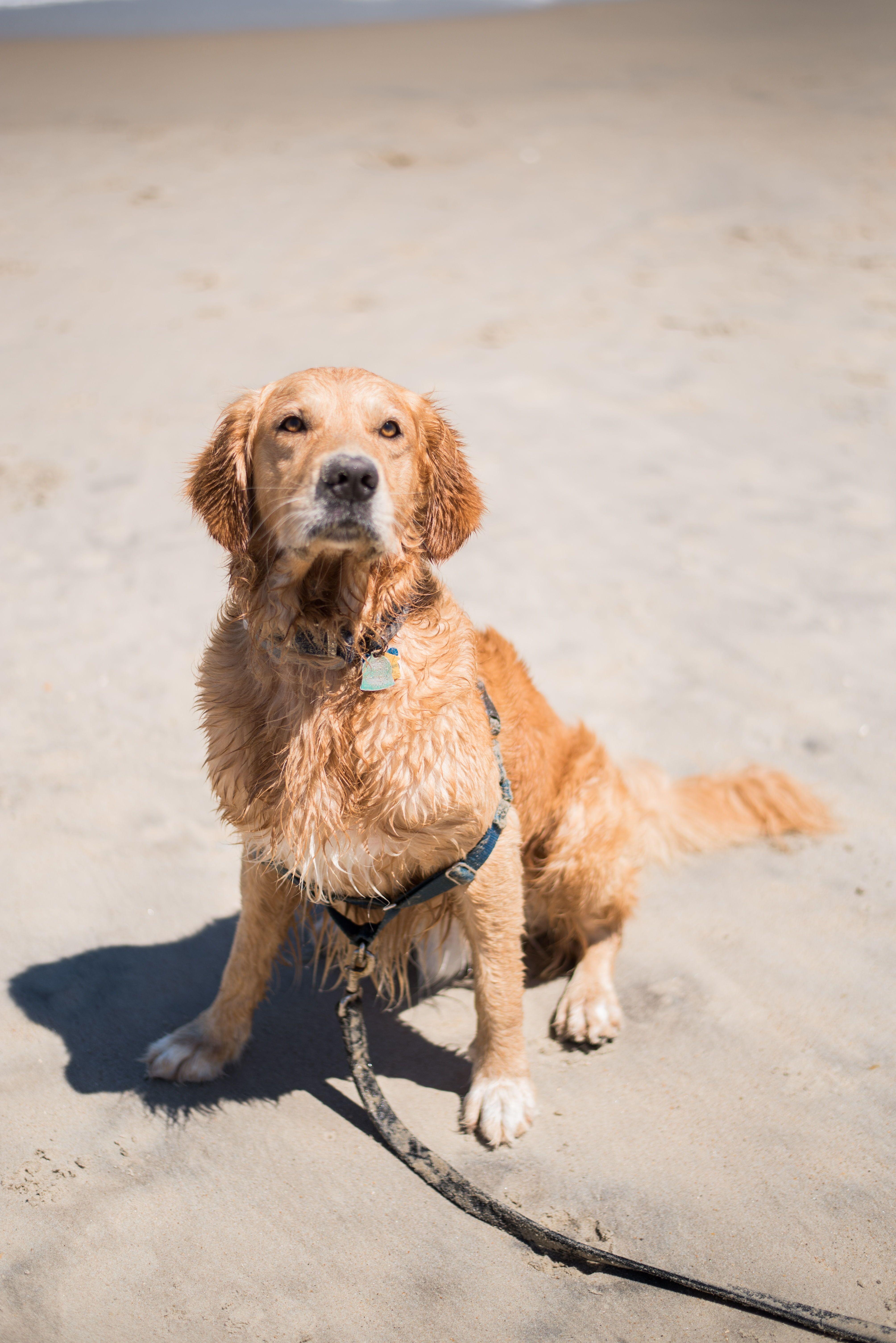 Explore How To Train A Golden Retriever Puppy In 2020 Golden Retriever Retriever Puppy Golden Retriever Puppy
