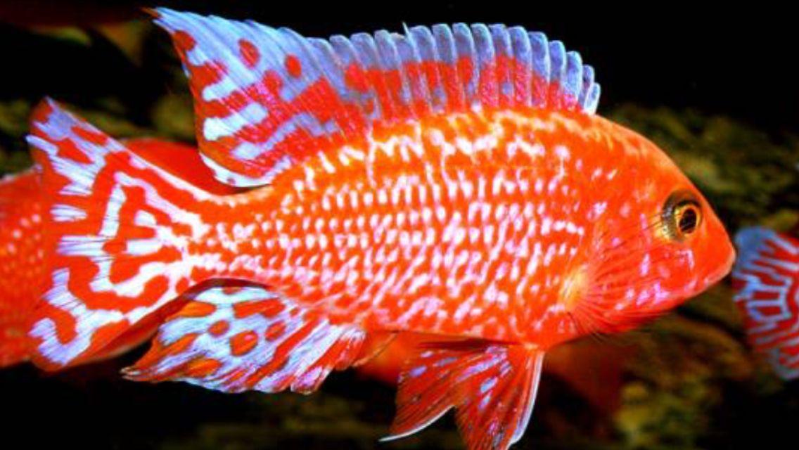 Aulonocara Firefish African Cichlid Aquarium Aquarium Fish Cichlid Aquarium