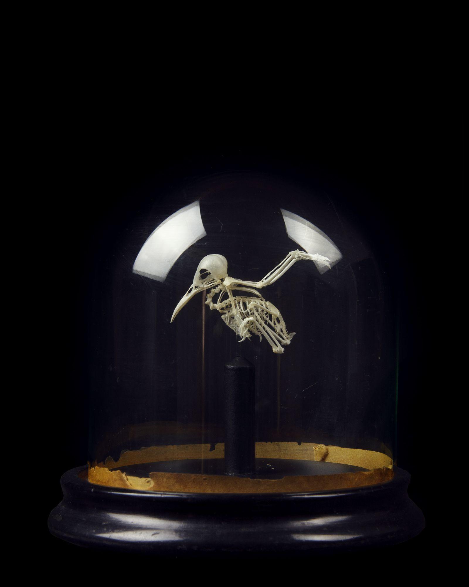 Hummingbird Skeleton taxidermy piece for sale.