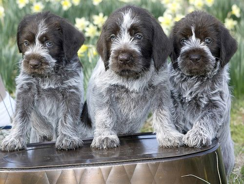 Wirehaired Pointing Griffon Puppies Pointer Puppies Griffon Dog German Wirehaired Pointer Puppy