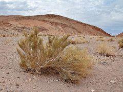 Ephedra breana (Mauricio Mercadante) Tags: chile atacama sanpedrodeatacama ephedra pingopingo ephedraceae ephedrabreana taxonomy:binomial=ephedrabreana