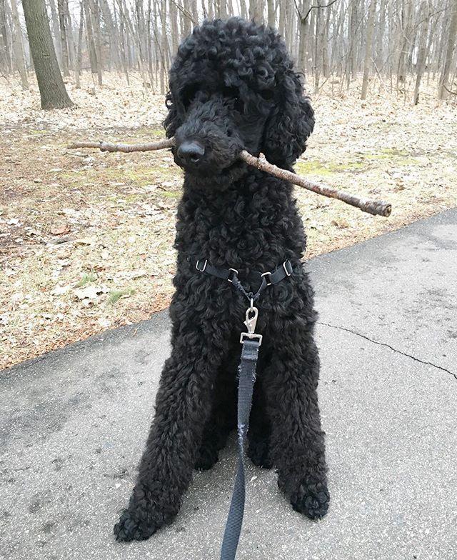 Perfect Poodle I Love Him Poodle Puppy Black Standard