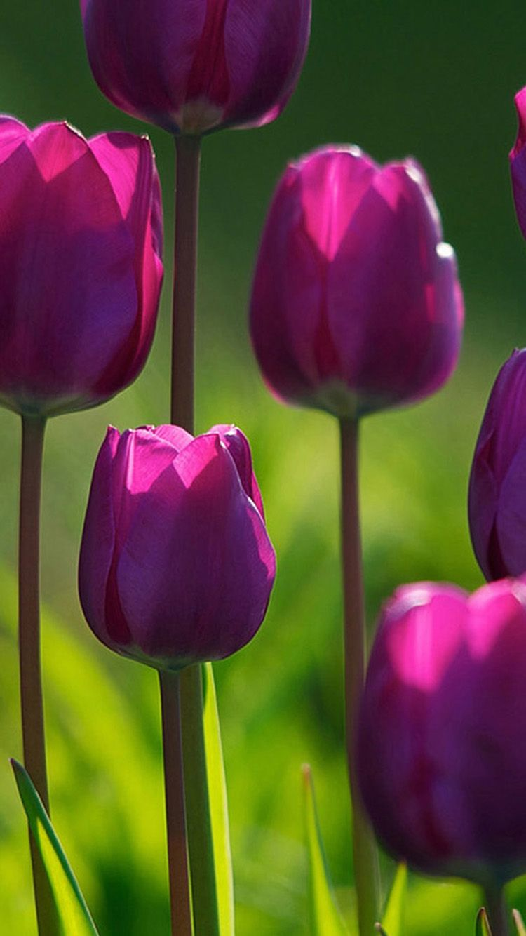 Beautiful purple tulips iPhone 6 Wallpapers   Flowers ...