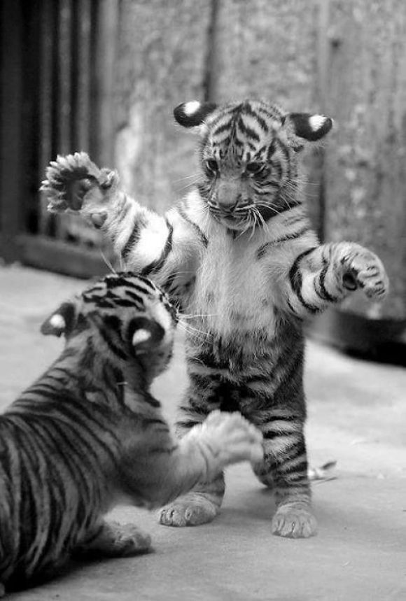 Tiger Attack! Cutest Paw Animals, Cute animals, Baby