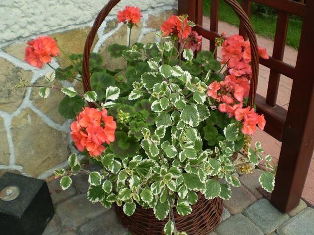 Pelargonie Z Komarzyca Na Komary Plants Garden Outside Living