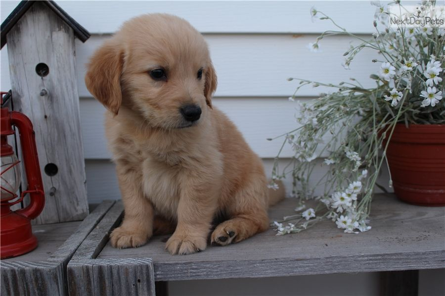 Hershey Male Akc Golden Retriever Golden Retriever Golden Retrievers For Sale Golden Retriever Puppy