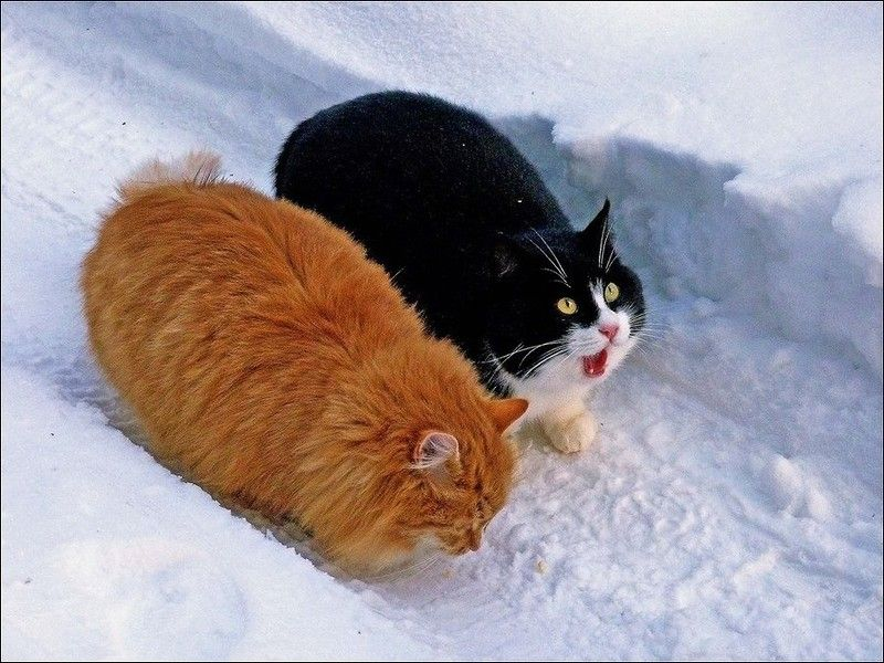 Cats in the snow - http://irastrange.livejournal.com/388080.html