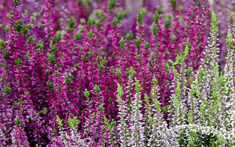 10 Lovely Plants That Bloom In The Fall Heather Plant Fall Plants Fall Blooming Flowers