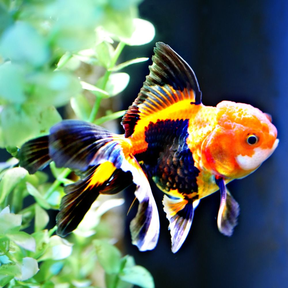 Goldfish For Sale Online All Pictures Are Taken By Windsor Fish Hatchery They Are Of The Exact Goldfish You Will Tropical Freshwater Fish Cool Fish Oscar Fish