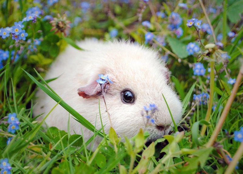 The guinea pig daily furry little cuties pinterest cochon d 39 inde animaux and animaux - Image de cochon mignon ...